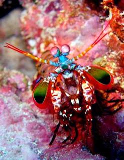 Ikan Hias Mantis Shrimp