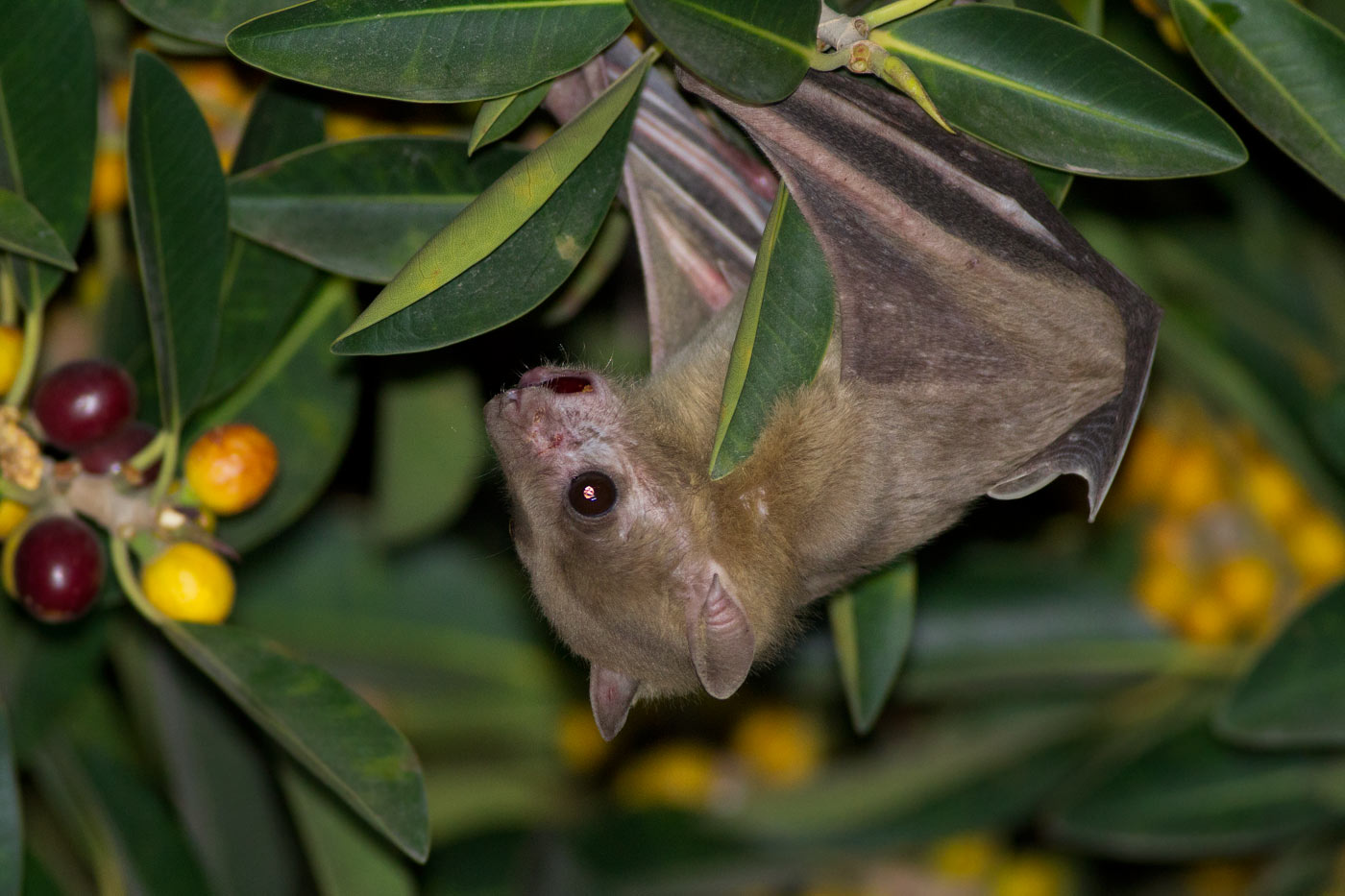 fruit bat fruit is healthy