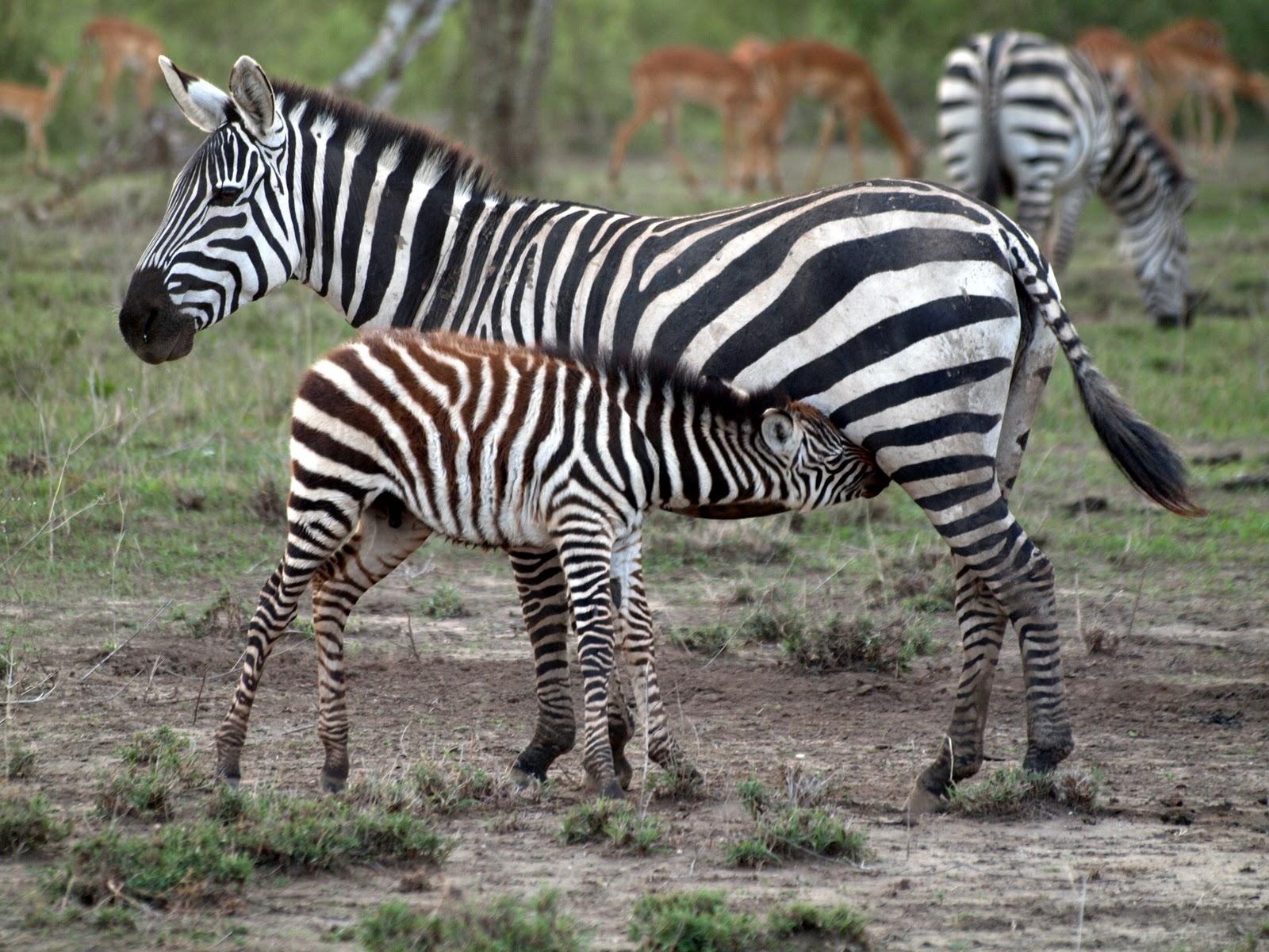 Nursing Zebra #tanzania #zebra #nursingzebra #africa 2011