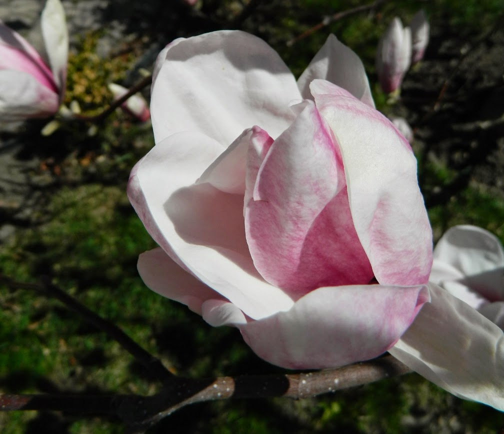 Saucer magnolia Magnolia x soulangeana flower by garden muses-not another Toronto gardening blog
