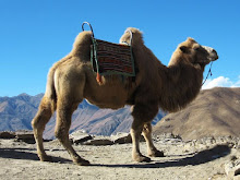 Pesky camels