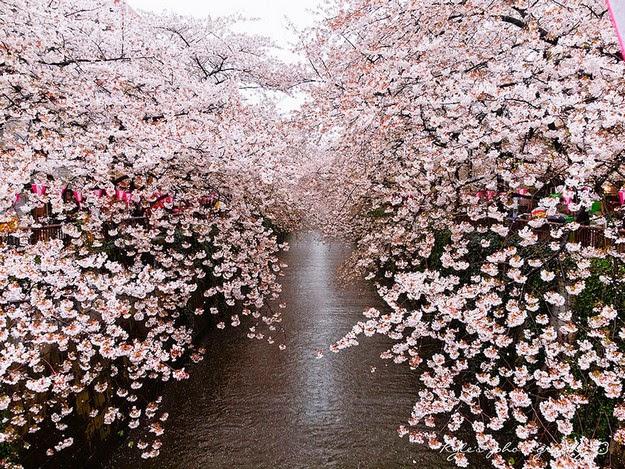 sakura blossom3