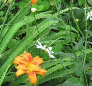 Lillies in rain