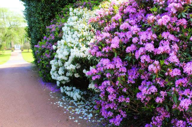 Edinburgh Botanic Gardens Rhododendrons
