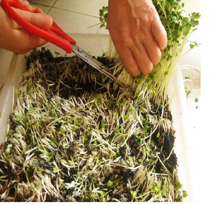 Trồng rau mầm thu hoạch cắt sát gốc