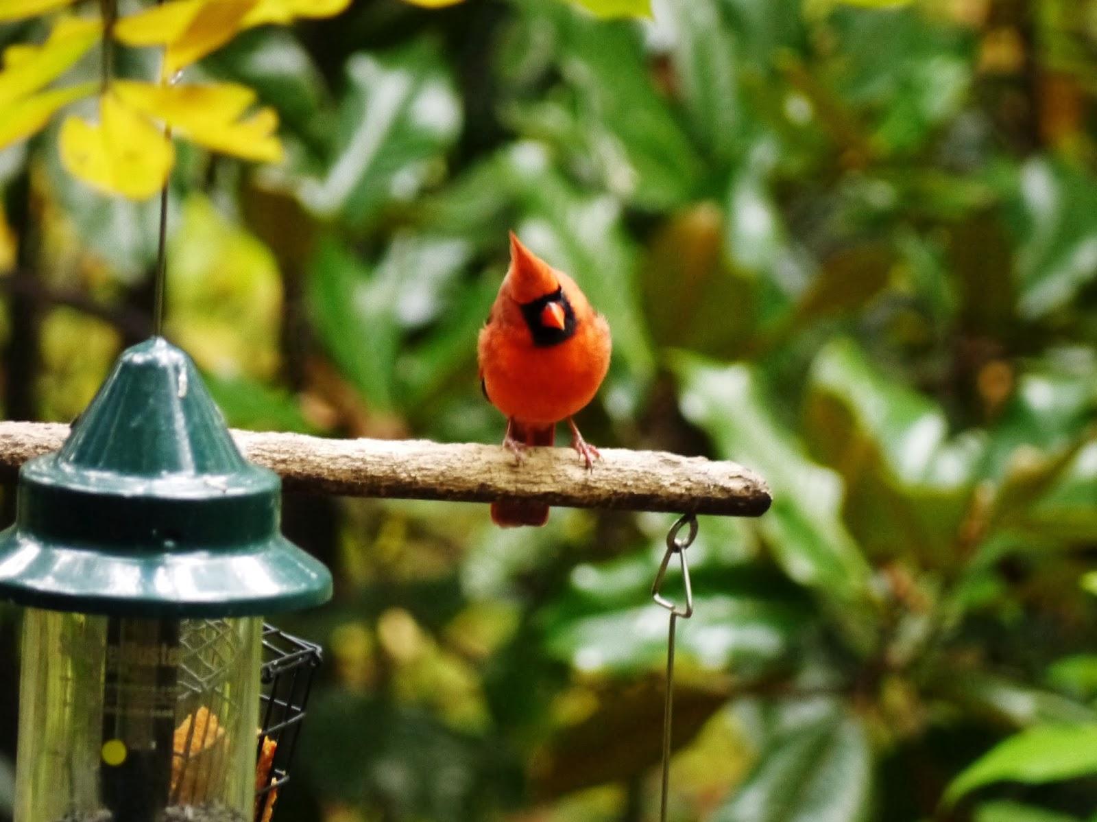 The wildlife garden in the h l blomquist garden of native plants - Northern Cardinal