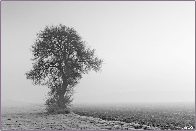 Pear tree in the fog