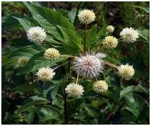 Guzikowiec zachodni (Cephalanthus  occidentalis)