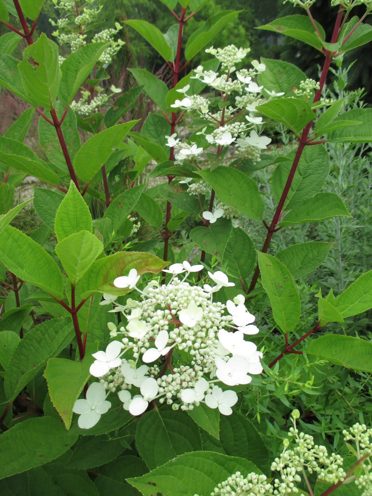 Red stemmed shrub garden design ideas - Olive garden bailey s crossroads ...