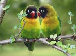 cara merawat lovebird labet burung cinta agar cepat bunyi