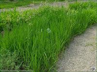 http://plantsgallery.blogspot.com/2014/02/hierochloe-repens-turowka-rozogowa-t.html