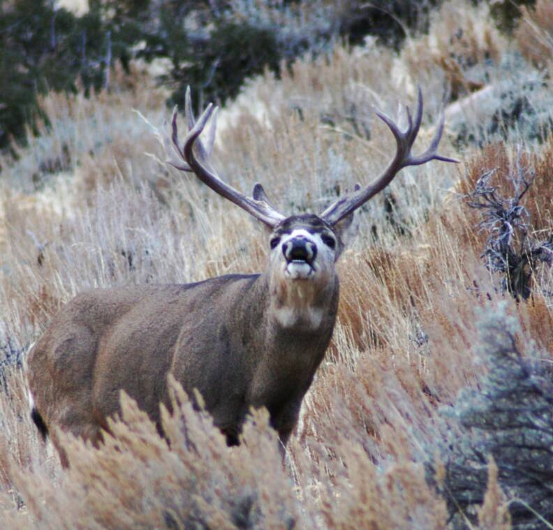 Hunting Big Mule Deer Bucks