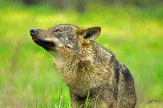 Lobo en lluvia