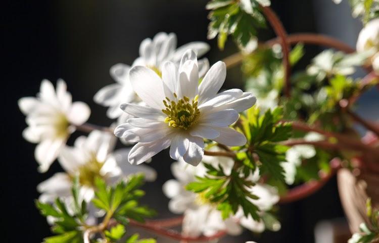 Hvide balkan-anemoner i krukker