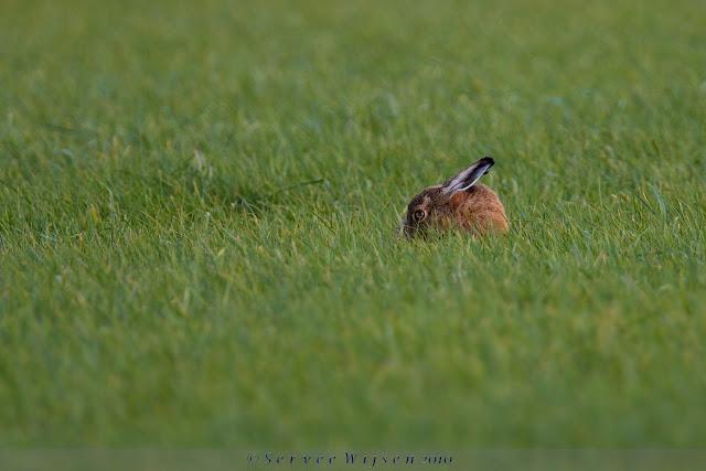Haas - Hare - Lepus europaeus