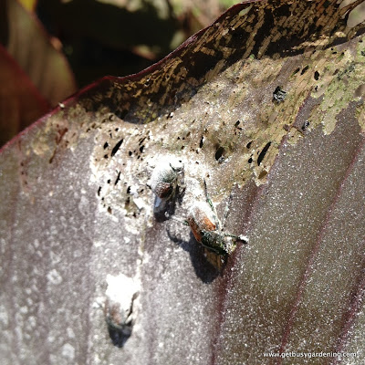 Japanese beetles don't like the eggshell powder