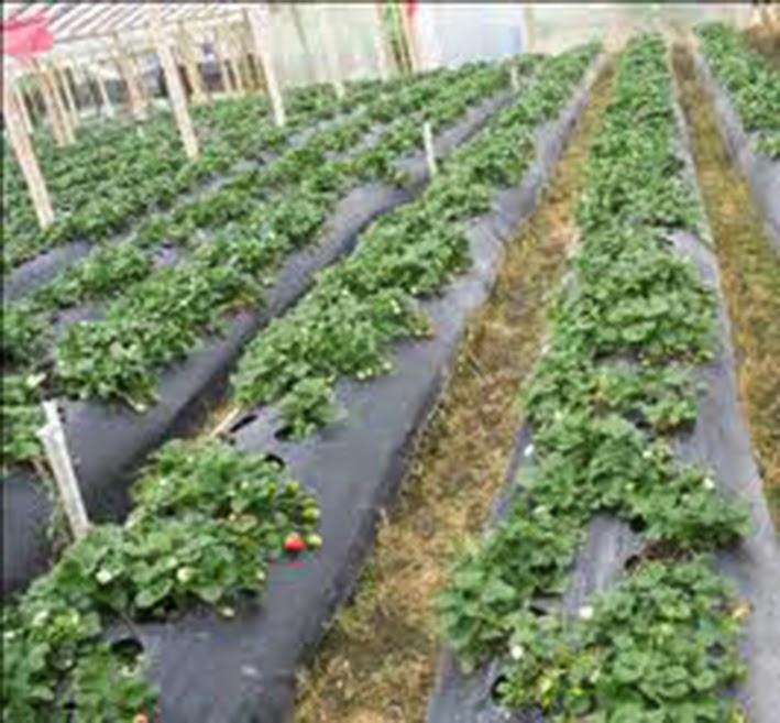 Cultivo tradicional de fresa for Viveros el rosal