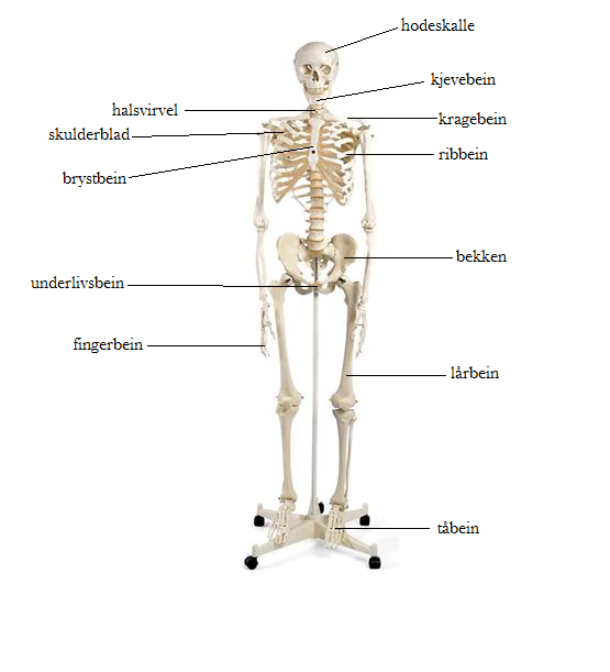 nakende jenter navn på muskler i kroppen