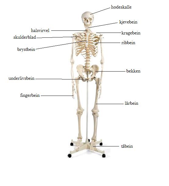 Navn på knokler i kroppen