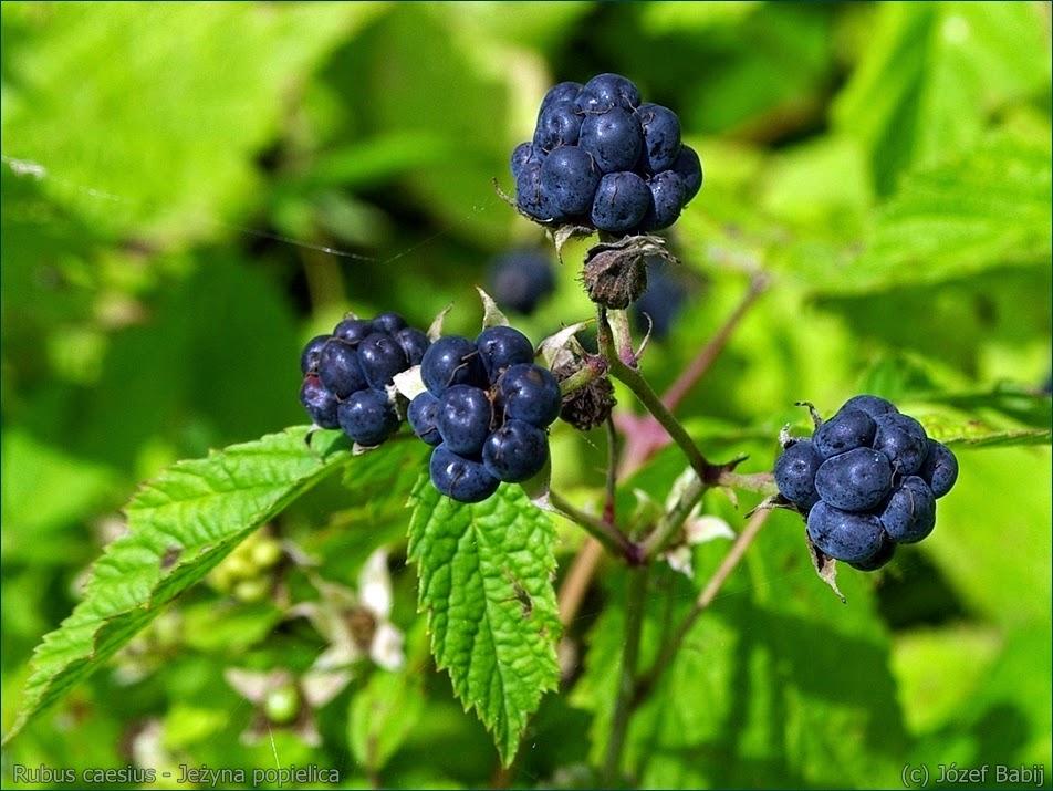 JEŻYNA POPIELICA Rubus caesius