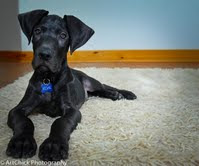 Lucy's baby Coal at 11wks. He went to such a sweet couple!!!