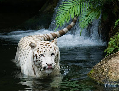White Tiger Wallpapers 05