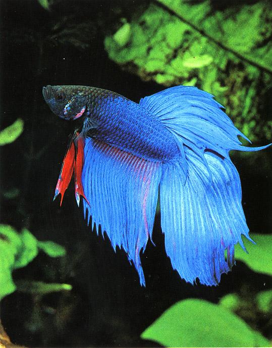 siamese fighting fish animal wildlife