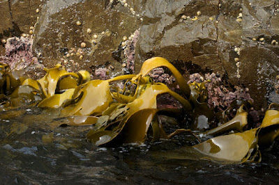 Kelp (Macrocystis sp)