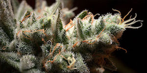 BORNEOL A Cancer Killing Terpene