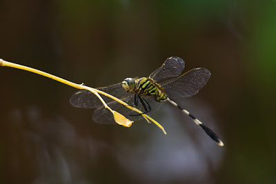 A photograph of a Green Skimmer taken in Yala, Sri Lanka
