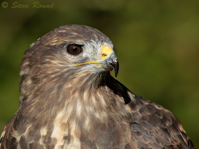 bird, nature, wildlife, Buteo buteo