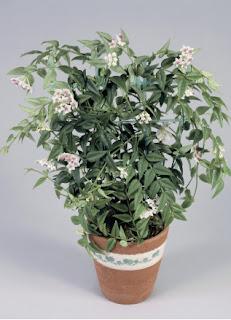 plantas para la terraza, plantas para el jardín, plantas de sombra, planta Hoya, planta hoya, planta olla, oya, hoya en una maceta, hoya de sombra