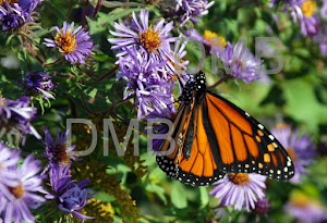 I love butterflies - Monarch