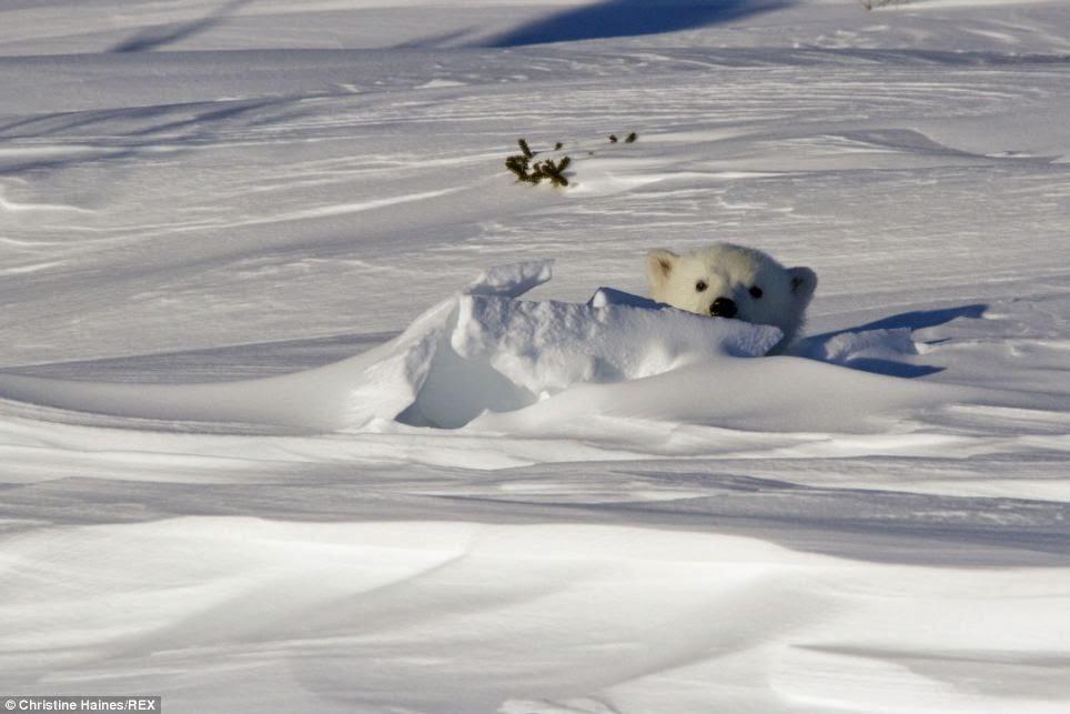 Wildlife photographer captures polar bear and cub peeking out of den (Photos - Video)