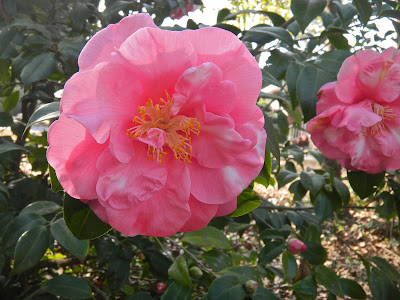 Variegated camellias