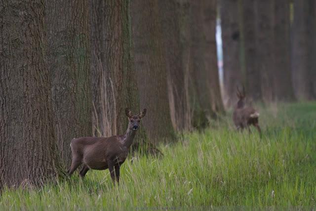 Zwangere Ree - Pregnant Roe Deer - Capreolus capreolus