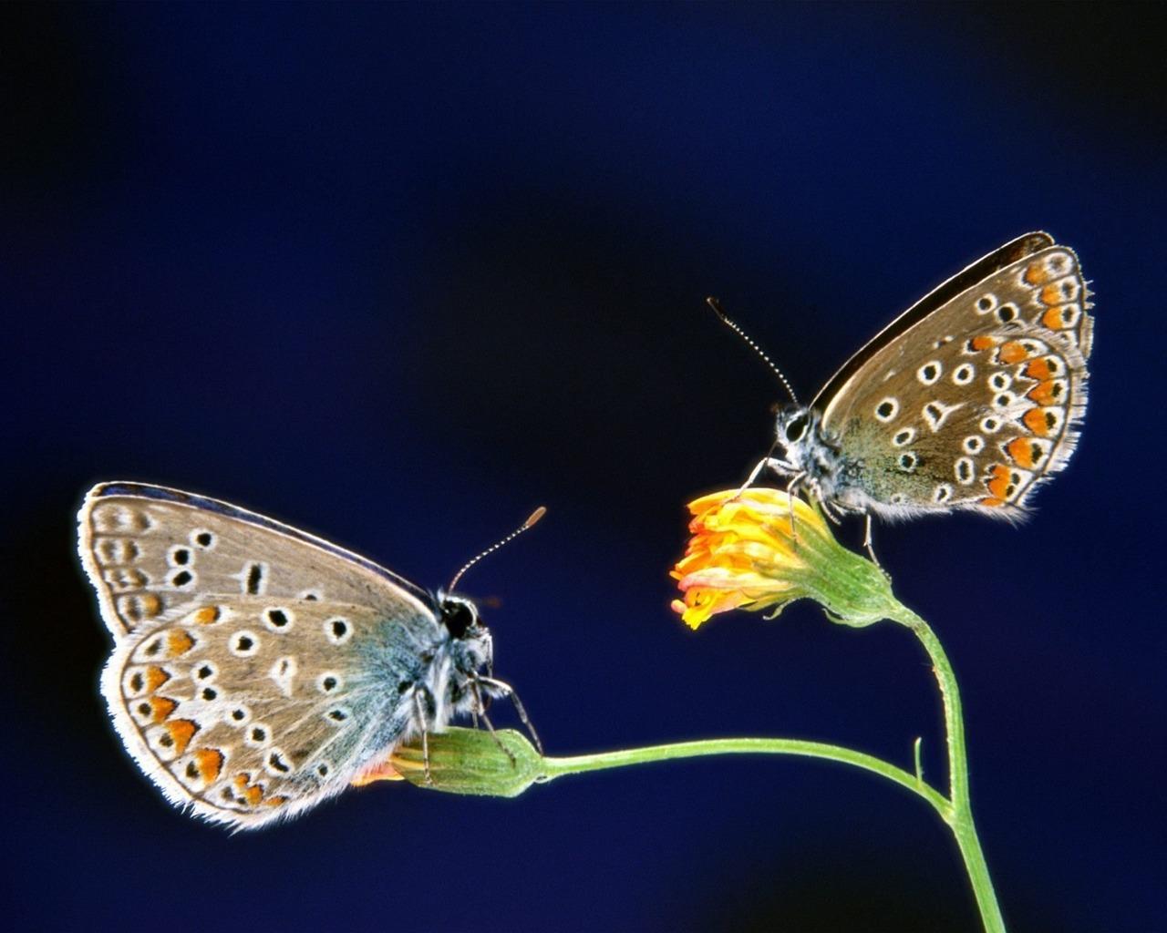 http://1.bp.blogspot.com/-iBgwnV8Desg/UMp3KIdJIqI/AAAAAAAASLE/svobUkzSLTc/s1600/Two+Butterfly+HD+Wallpapers.jpg