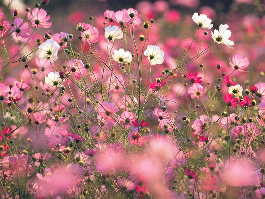 Beautiful Spring Flowers Wallpapers Spring Pink Flower Wallpaper