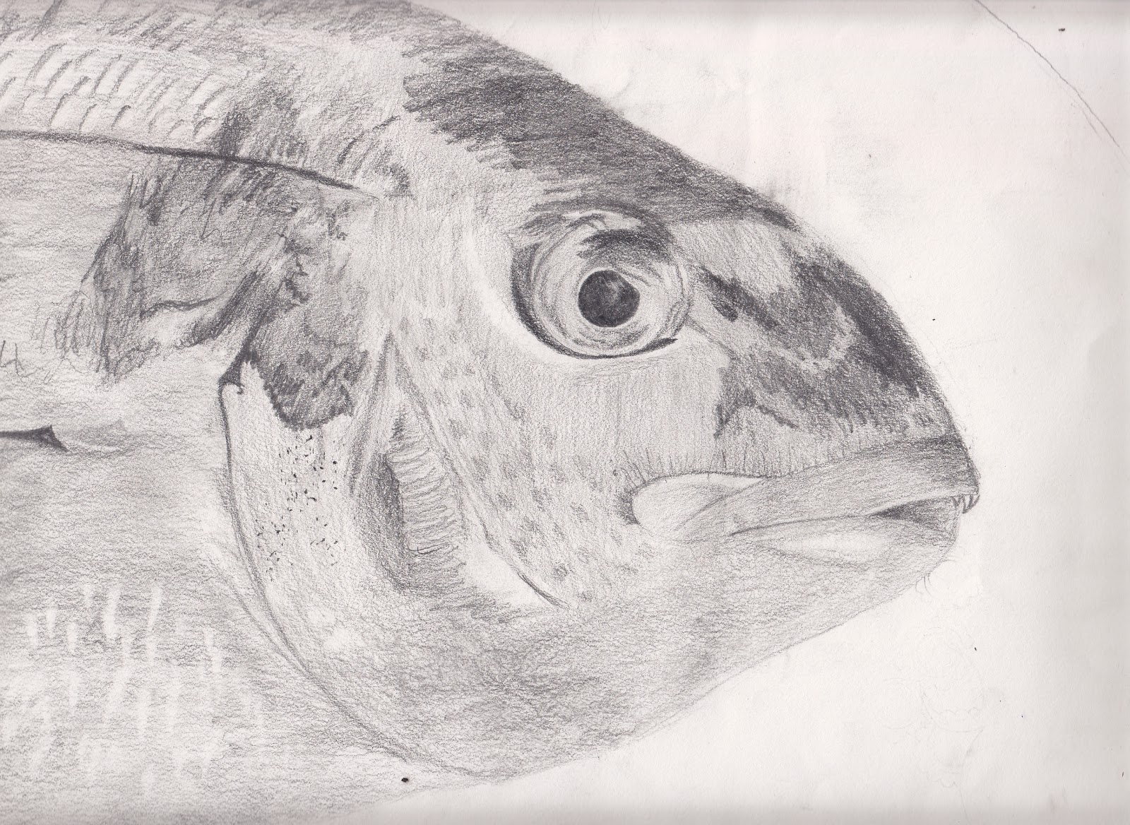 Fish drawing in pencil for Drawings of fish