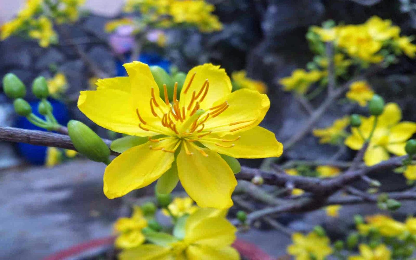 hình nền hoa mai tết 2015