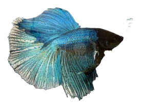 Betta-Fish-Fighter-Fish