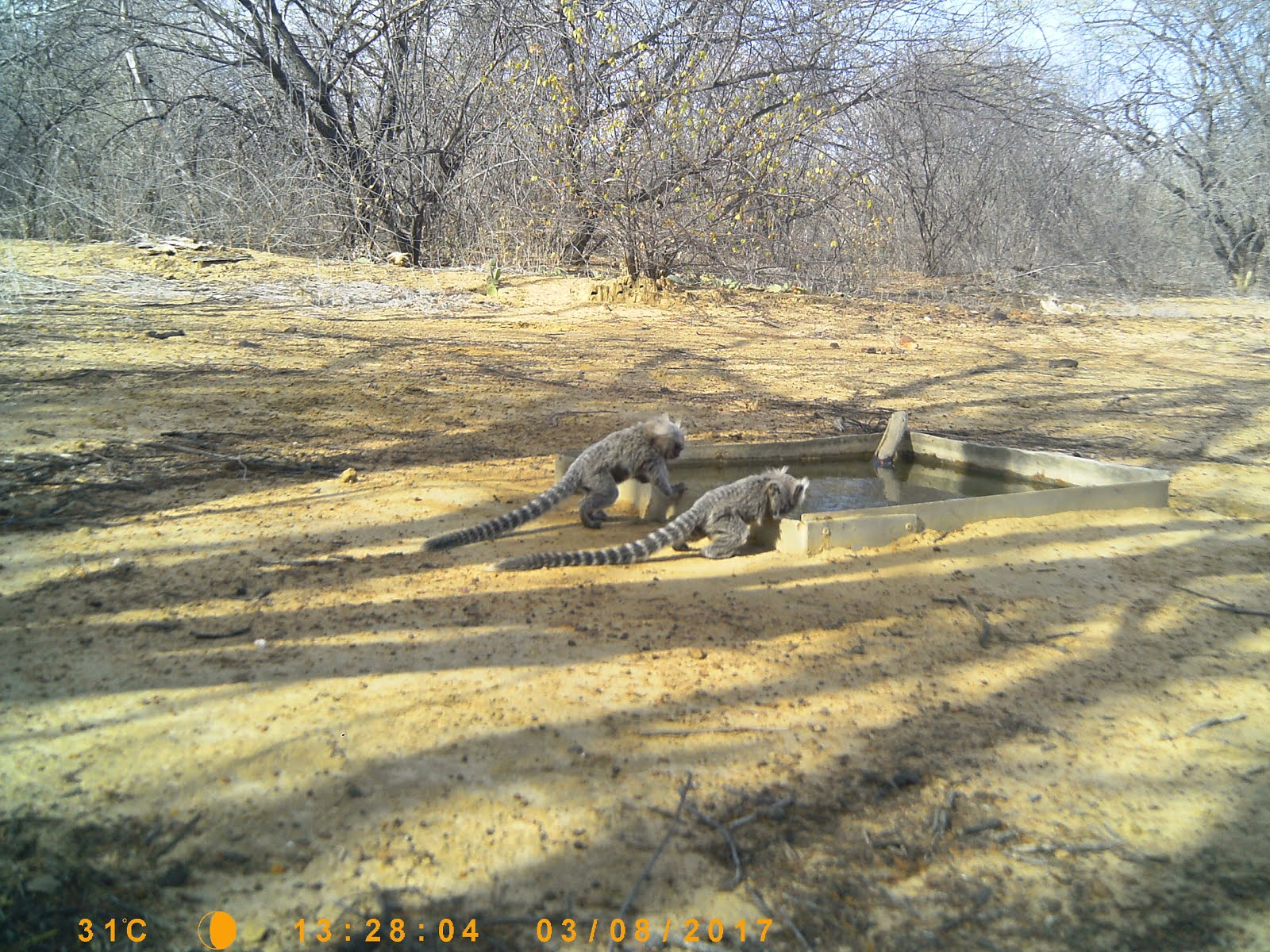 Micos da caatinga bebendo água