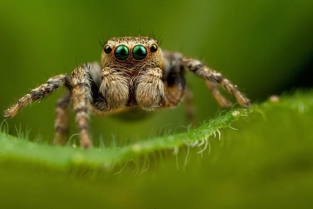 makro örümcek
