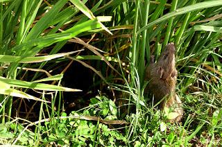 foto hama tikus yang menyerang padi
