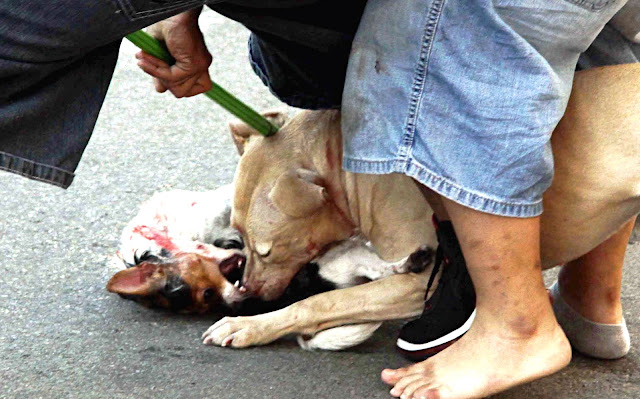City Island News Bx News Photog Captures Vicious Pitbull