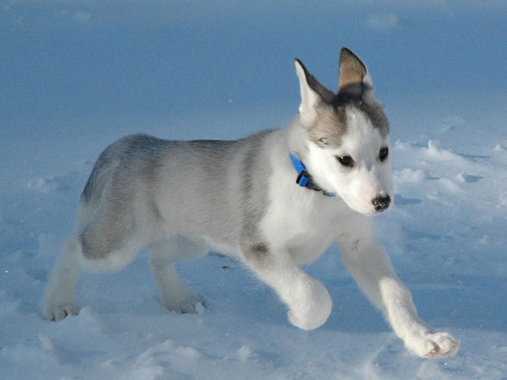 http://1.bp.blogspot.com/-iE9dEoUkGbI/UEkAhbpIMXI/AAAAAAAAAOI/oq3yo1mDedQ/s1600/little-siberian-husky-dog-1024x768.jpg
