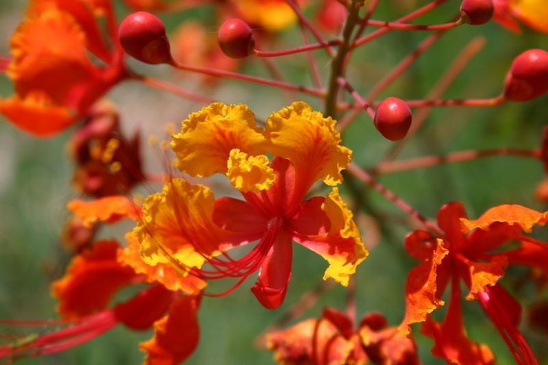 Tanaman Bunga Flamboyan Informasi Seputar Tanaman Hias