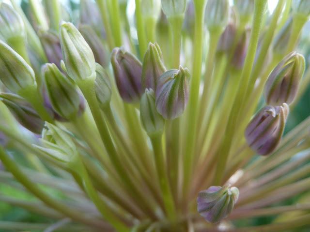 Allium Schubertii opening, Floyd Bennett Field, Brooklyn