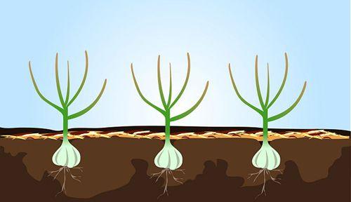 Cách trồng tỏi tại nhà 5