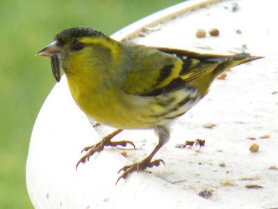 Du four au jardin et mes dix doigts le petit oiseau jaune for Oiseau noir bec jaune